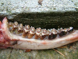 Jaw bone used for ageing deer