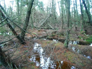 Afforested Peatland Restoration
