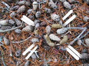 Capercaillie droppings