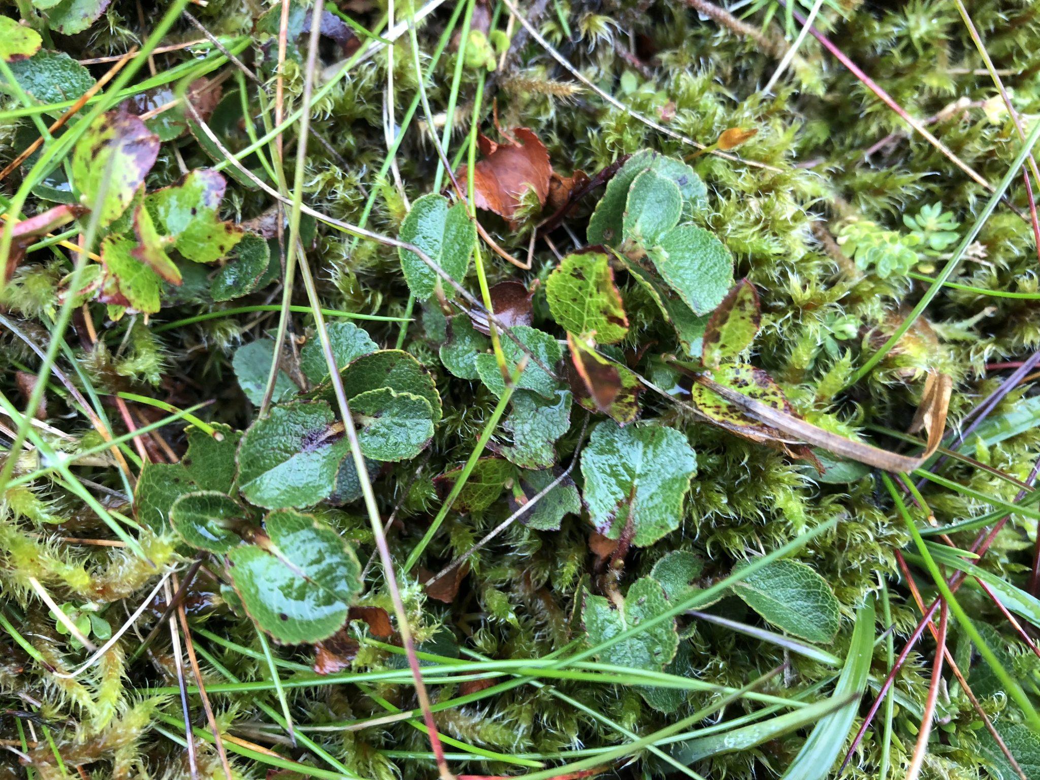 Caenlochan SAC – herbivore impact assessment